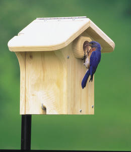 Eastern Bluebird on WBU House