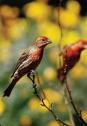 House Finches c